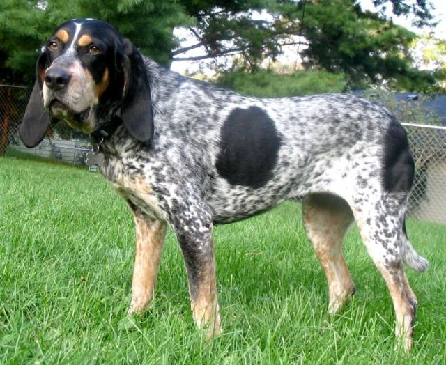 bluetick_coonhound_40_0